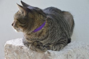 Hemmingway's house and museum is home to 40 - 50 polydactyl (six-toed) cats