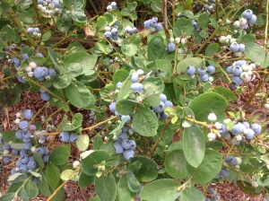 Blueberries definitely take me to my happy place!