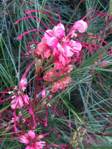 Our Grevillea Long John's whimsical pink blossoms are a favorite of bees and hummers