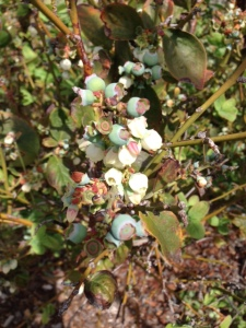 It looks like we'll have another bumper crop of blueberries this summer