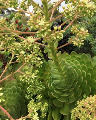 Aeonium in bloom