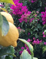 Lemons and bougainvillea