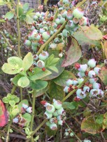 It looks like we will have another bumper crop of blueberries this summer